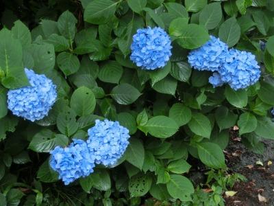青のアジサイもキレイ