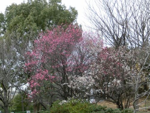 中央公園の梅