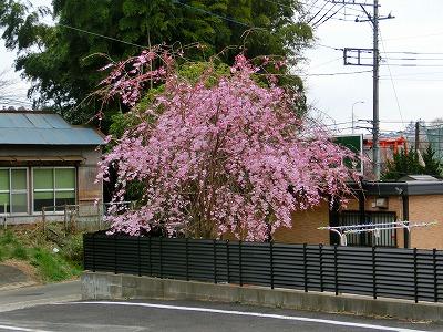 駐車場横のしだれ桜