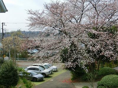 オーナー宅の桜