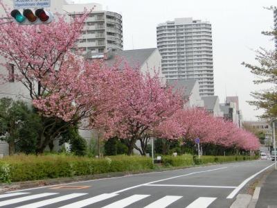 公園前は八重桜が満開