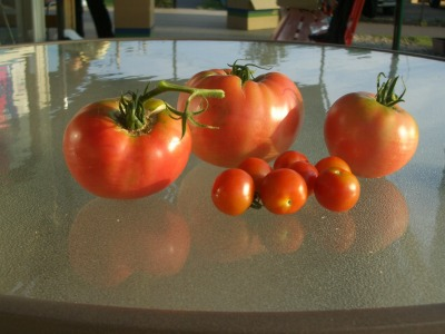 印西クラブ産のトマト