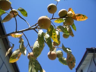 柿が色づいてきた