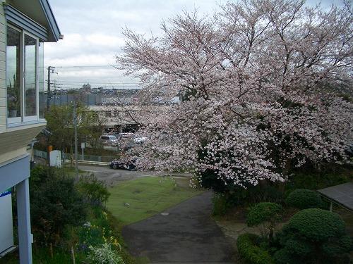 下川井の桜