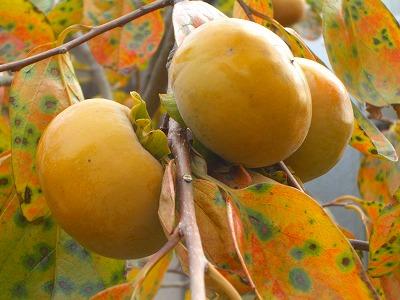 松原さんちの柿