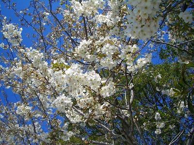 幕張の山桜