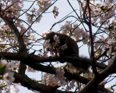 桜を食べている?